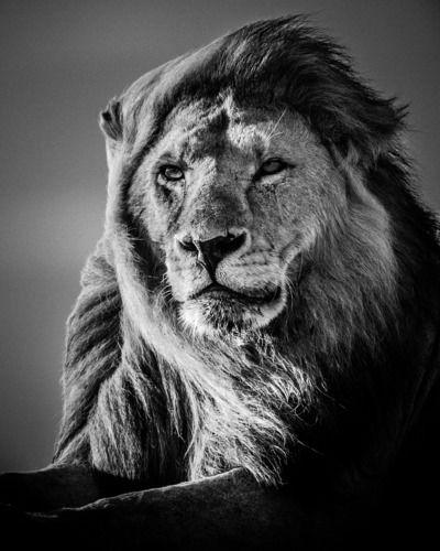 Laurent baheux lion in the wind v